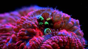 All about coral lps