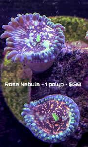rose 1 polyp.jpg
