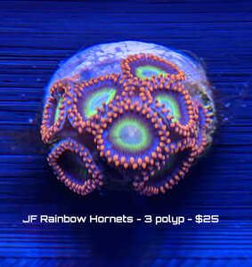 rainbow hornet 3 polyp.jpg